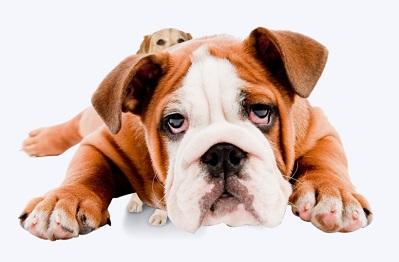 מה לעשות אם הכלב שלי סובל מעודף משקל